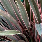Phormium-'Pink-Stripe'