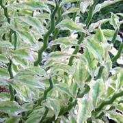 Succulent-Pedilanthus-tithymaloides-'Variegatus'