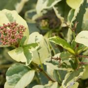 Viburnum-tinus-'Variegata'