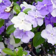 Brunfelsia_pauciflora_floribunda