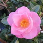 Camellia_asanqua_hybrids