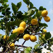 Citrus_limon
