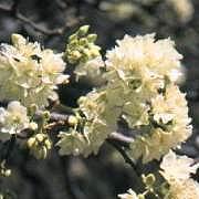 Dombeya_rotundifolia