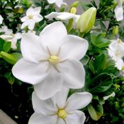 Gardenia_thunbergia