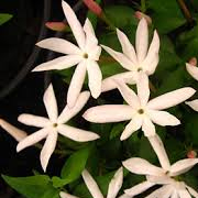 Jasminum_multipartitum