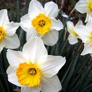 Narcissus_hybrids