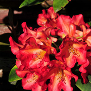 Rhododendron_hybrids