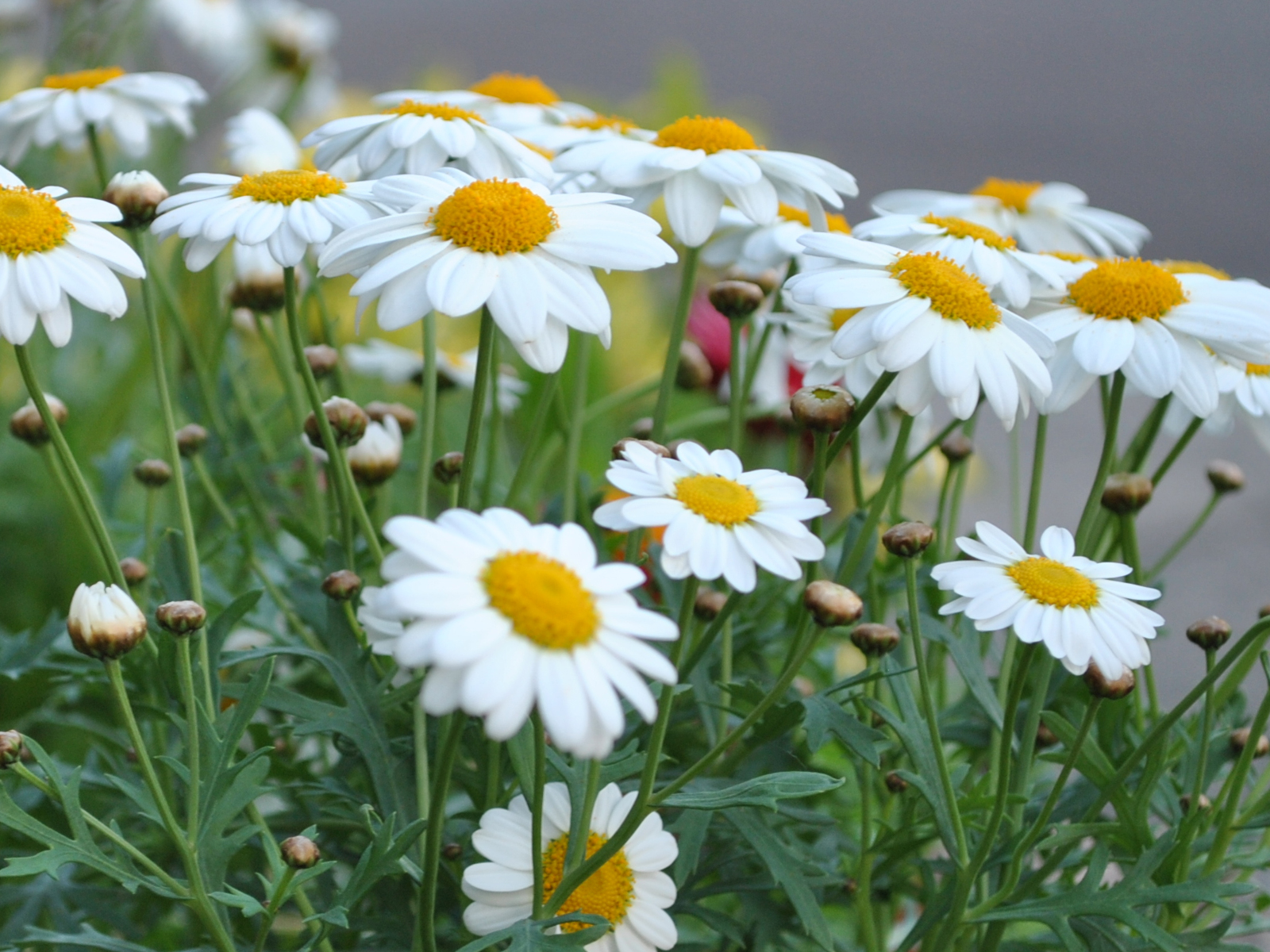 Madeira Daisies Most Popular Spring