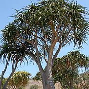 Aloe-barberae