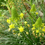 Bulbine-abyssinica