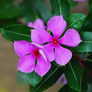 Catharanthus-roseus