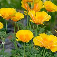 Escholtzia-californica