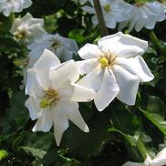 Gardenia-thunbergia