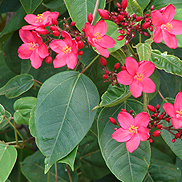 Jatropha-integerrima
