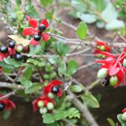 Ochna-natalitia
