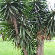 Yucca-elephantipes
