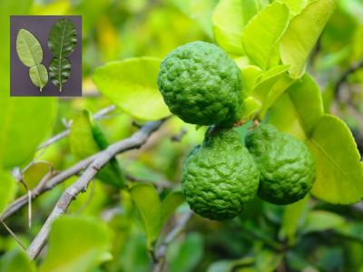citrus hystrix - blackwoods