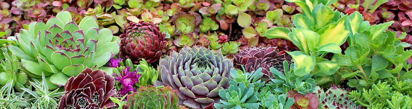 succulent_blog
