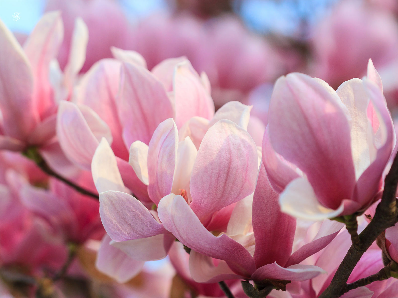 Blackwoodscoza Make The Most Of Magnolias The Most Beautiful
