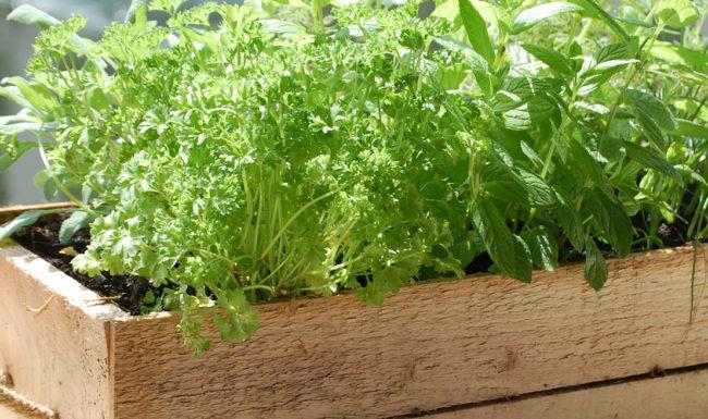 growing herbs blackwoods