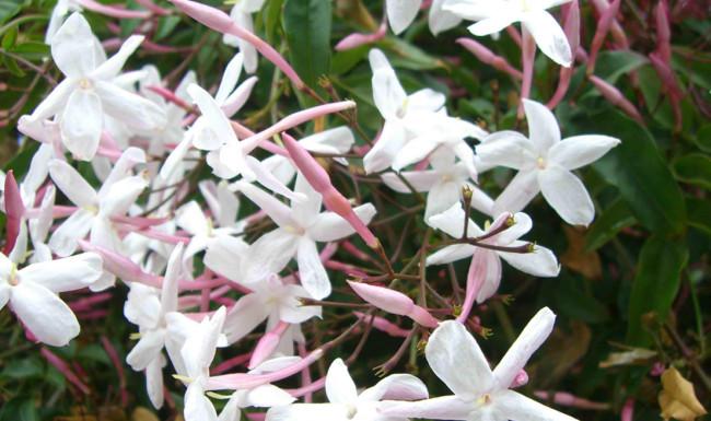 jasmine blackwoods