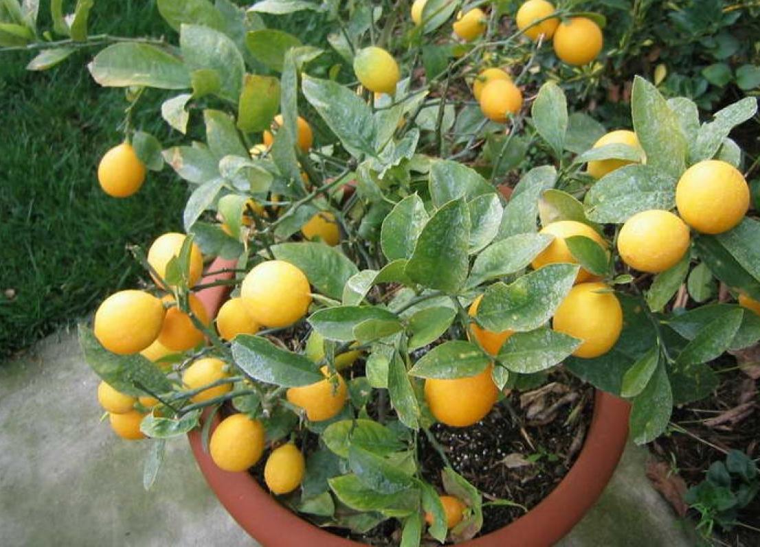 Blackwoods Co Za Grow A Potted Lemon Tree