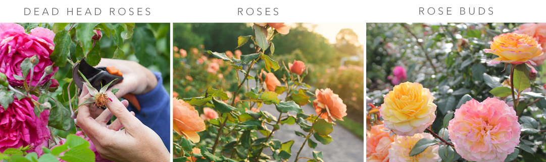 Blackwood's Rose Care in May