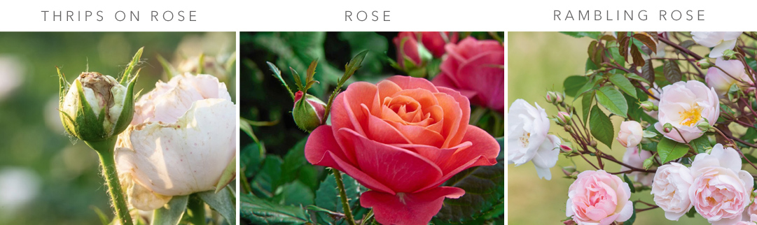 Blackwood's Rose Care in September