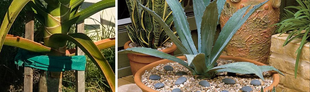 Blackwood's Growing Aloes - Aloe Care