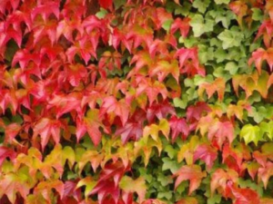 Blackwood's Plants with Colourful Autumn Foliage