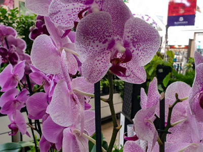 Blackwood's Orchid Care