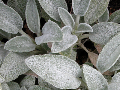 Blackwood's Plants with Silver or Grey Foliage