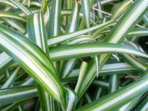 Blackwood's Plants with Variegated Leaves
