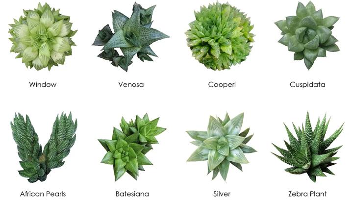 Blackwood's Haworthia Succulent Chart