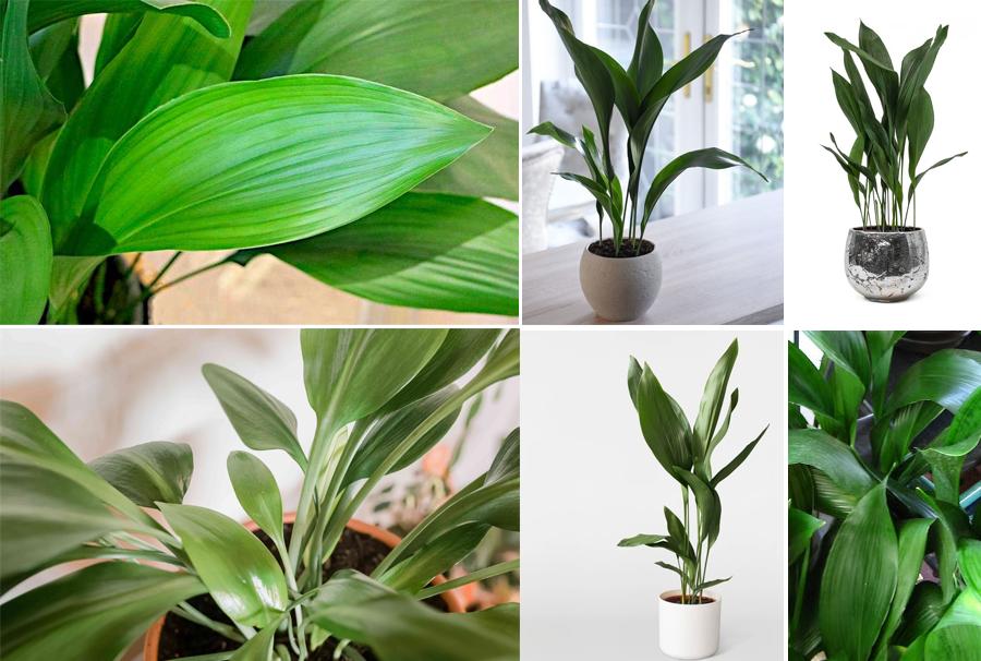 Blackwood's Aspidistra Indoor Plant