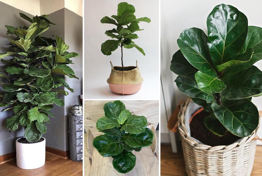 Blackwood's Ficus Lyrata Indoor House Plant