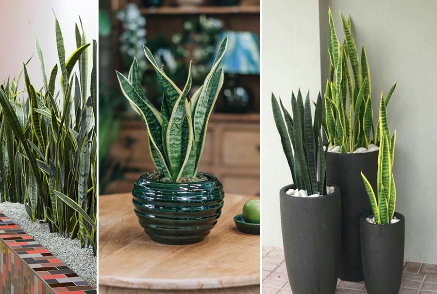 Blackwood's Sanseveria Indoor Plant
