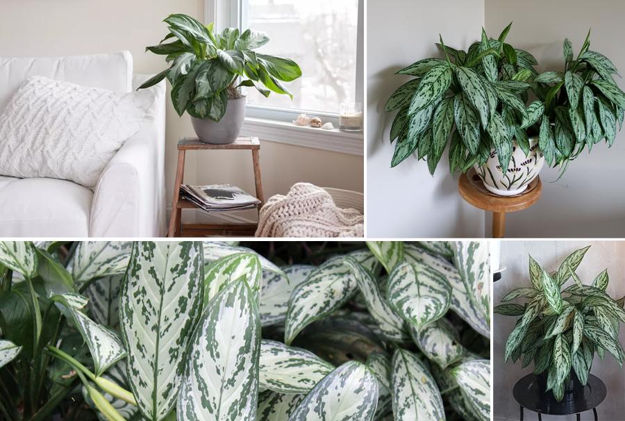 Blackwood's Aglaonema 'Silver Queen' Indoor Plant