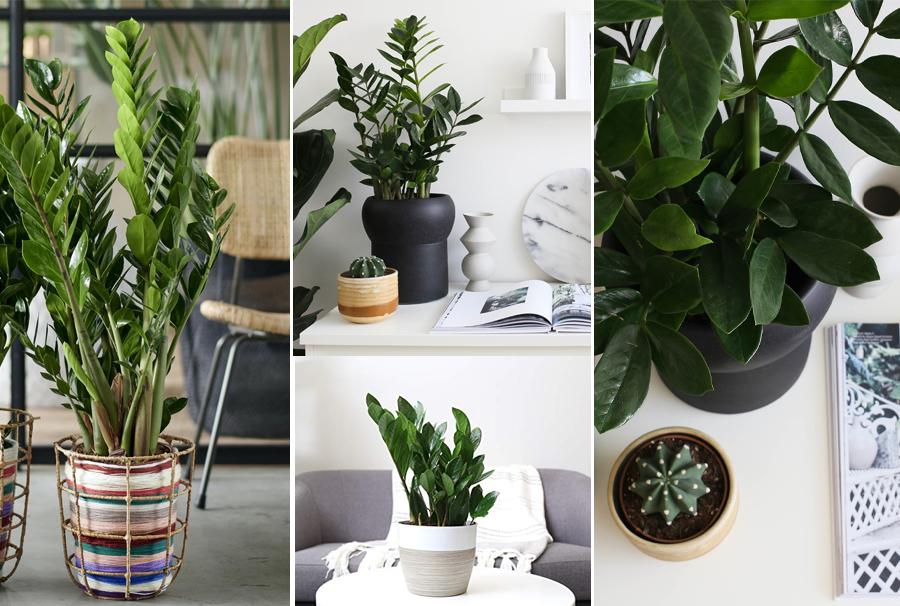 Blackwood's zz plant indoor plant