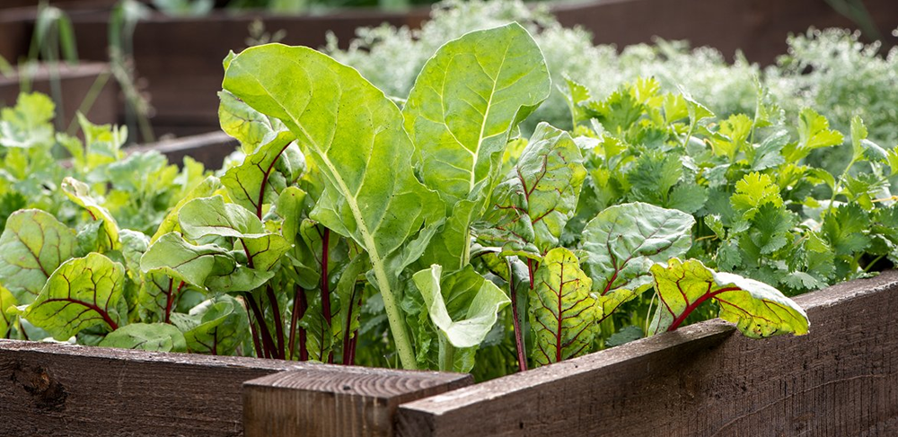 Blackwood's Growing Vegetables