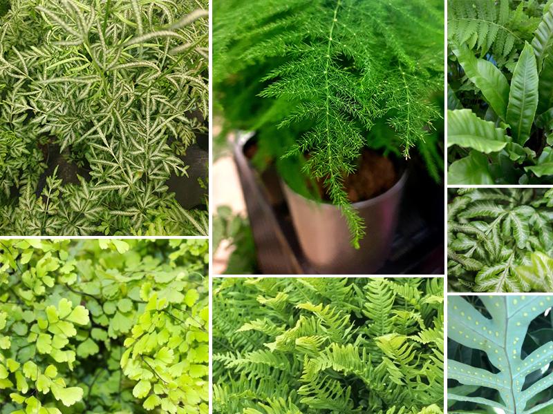 Blackwood's Growing Ferns